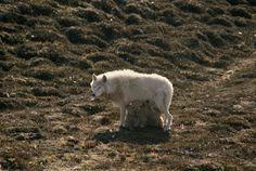 An arctic wolf nurses her young.   Ellesmere Island, Queen Elizabeth Islands, Northwest Territories, Canada.   By JIM BRANDENBURG, National Geographic