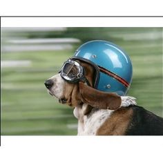 basset hound with helmet and doggles