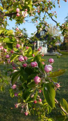 Het morgenzonnetje op de appelbloesem. Huisje van Hout in Aagtekerke, Walcheren, Zeeland.