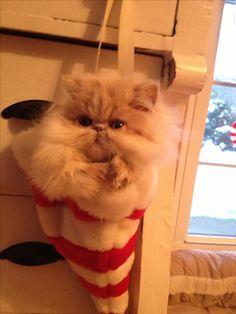 Persian kitten- Chunky