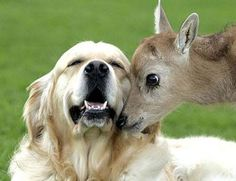 """""""Mi-Lu, Pére David deer fawn, nuzzles golden retriever Kipper at an animal park in Merseyside, England. Mi-Lu was rejected by its mother and park staff are raising it, but Kipper and another park dog have adopted it. Unusual Animal Friendships, Unlikely Animal Friends, Unusual Animals, Animals Beautiful, Beautiful Smile, Baby Animals, Funny Animals, Cute Animals, Caring For Animals"""