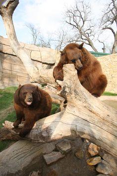 Baylor University    Bear Program    Current Mascots~Joy and Lady