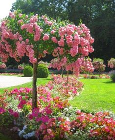 """""""French rose tree"""" Hope my rose trees look like this some day Beautiful Gardens, Beautiful Flowers, Beautiful Gorgeous, The Secret Garden, Lilac Tree, Rose Trees, Flower Tree, Spring Tree, Spring Flowers"""