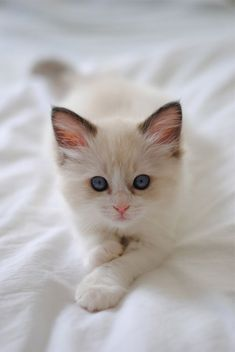 ... rag doll kitten...