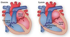 Human heart diagram, anatomy or picture help to detect the different part of the heart and help to identify the location of heart arteries and heart valves. Heart Valves Anatomy, Heart Anatomy, Body Anatomy, Human Heart Diagram, Heart Arteries, Tricuspid Valve, Heart Institute, Heart Location, Mitral Valve