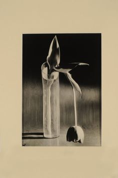 Tulipán Melancólico - Kertész, André