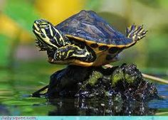 The popularity of tortoises as pets has increased over time. This is because they are silent, they do not shed any far and they are cute. They are most cute Animals And Pets, Baby Animals, Funny Animals, Cute Animals, Happy Turtle, Turtle Love, Pet Turtle, Cute Turtles, Baby Turtles