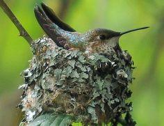 Hummingbird Swing, Hummingbird House, Hummingbird Nests, Hummingbird Flowers, Hummingbird Pictures, Baby Hummingbirds, Flowers That Attract Hummingbirds, How To Attract Birds, Attracting Hummingbirds