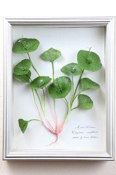 Miner's Lettuce by Aimee Baldwin