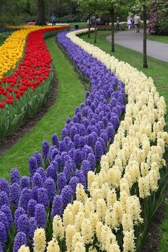 Keuken hof Holland! Row after row of tulips and hyacinths in bloom!