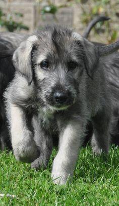 An adorable Irish Wolfhound Puppy
