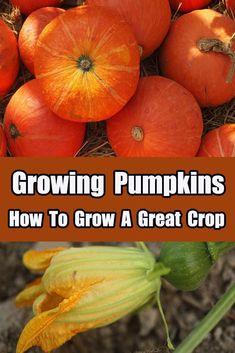 Growing Pumpkins – How To Grow A Great Pumpkin Crop #pumpkin #garden #organic #vegetable #seeds #raisedrowgarden #oldworldgardenfarms #vegetableseedsfood