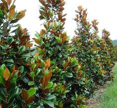Garden Ideas Along Fence Line little gem magnolia tree screen - dark green foliage contrasts