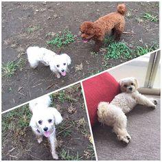 朝んぽ 公園一周して帰ろうと思ってたけど、 マリーちゃんに会えたのでドッグランで泥んこ犬になってきたよ🐶✨ 2016.9.27  1歳3ヶ月3日  #マルチーズ #マルチーズ部 #malta #maltese #ilovedog #dog #わんこ #わんこなしでは生きていけません会 #愛犬 #大好き #親バカ部 #love #instagood #tbt