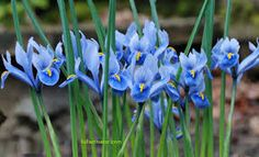 Image result for blue iris