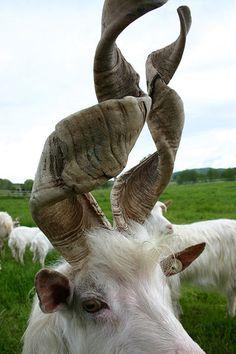 spiral horns on goat