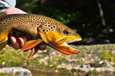 brown trout in sunlight