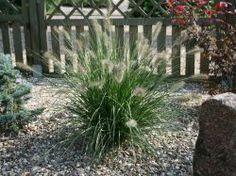 Lampenputzergras 'Hameln' - Pennisetum alopecuroides 'Hameln'. Das ganze Jahr über schön!!