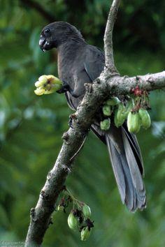 Lesser vasa parrot or black parrot (Coracopsis nigra)