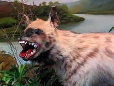 Even at its best, taxidermy is a bit creepy. But just look what happens when the taxidermist gets a bit 'creative' Saint Yves, Photo Ours, Bad Taxidermy, Friend Jokes, Funny Friends, Hyena, Grumpy Cat, Baby Cats, Famous Artists