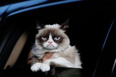 Grumpy Cat, real name Tardar Sauce, is a female cat and Internet celebrity known for her grumpy facial expression. Her owner Tabatha Bundesen says that her permanently grumpy-looking face is due to feline dwarfism.