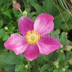 image de Anemone Pretty Lady Diana Lady Diana, Beautiful Flowers, Roses, Group, Board, Pretty, Nature, Photos, Image