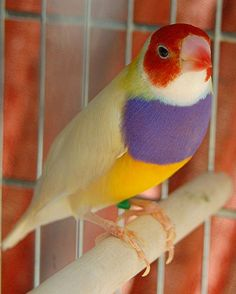 Gouldian finch (Erythrura gouldiae) yellow back, red headed