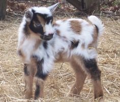 Nigerian Dwarf info.   Care of the Nigerian Dwarf Dairy Goat - these are the best dairy goats for an urban farm.                                                                                                                                                                                 More