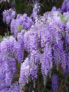 Blauregen giftige pflanzen giftige blumen