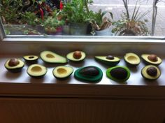 Testing all shapes and sizes of avocados in the in the new avocado huggers.  Avocado milkshakes for lunch!