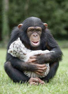 Amistad entre un chimpancé y dos tigres
