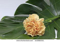 a yellow carnation