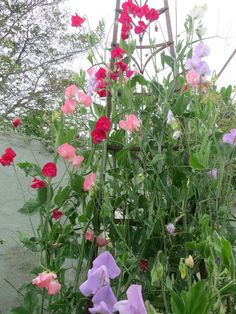 sweet vpeas - Google Search