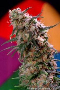 Super Man Haze Marijuana Seeds