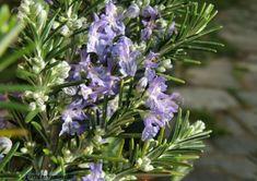 Medicina natural - Alecrim (Rosmarinus officinalis) #alcanceosucesso