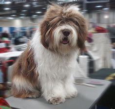NEW - Dziechcinek kennel - polish lowland sheepdog