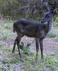 This dark Fawn was spotted at a YMCA camp near Austin, Tx. This dear has a increased pigmentation called ( Melanism)