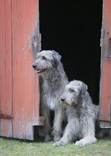 Irish Wolfhounds-thanks to the Druid Chronicles this is what David wants around OUR house.