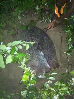 A giant hawksbill turtle discovered nesting by the Nevis Turtle Group on Cades Bay Beach...