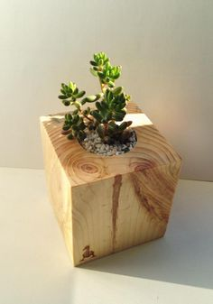 Succulents in wood. Sedum rubrotinctum https://www.facebook.com/goosucc