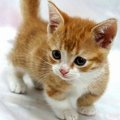 Munchkin Kitten--The Munchkin cat is a relatively new breed created by a random . Kittens And Puppies, Cute Cats And Kittens, I Love Cats, Kittens Cutest, Cute Puppies, Fluffy Kittens, Munchkin Kitten, Cat Work, Maine Coon