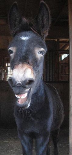 If you wonder what a donkey can eat, you can find all important feeding facts here. Take good care of your donkey with best information. Smiling Animals, Happy Animals, Farm Animals, Animals And Pets, Funny Animals, Cute Animals, Baby Donkey, Cute Donkey, Mini Donkey