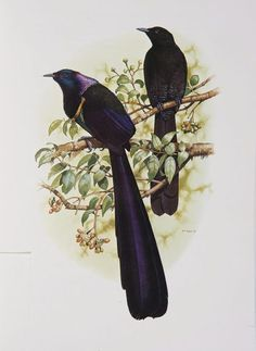 http://australianmuseum.net.au/william-t-coopers-birds-of-paradise?page=2&assetID=Huon Astrapia