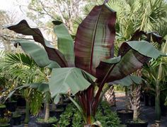 Red Banana Tree. I planted this in a large pot with black potato plant that will spill over the sides