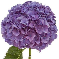 pretty hydrangea. Such a great plant to tell you when to water your garden. When it goes limp, everything else should be watered!