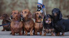 dog heaven, weenie dogs, cutest dogs, pet, dachshundsbabi dog, puppi, weiner dogs, wiener dogs, dog breeds