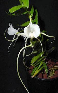 Орхидея Angraecum germinyanum