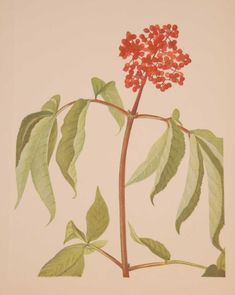Vintage botanical print from 1925 by Mary Vaux Walcott titled Scarlet Elder . This is a 1925 print and not a later release, these prints where done in a limited quantity of 500. Vintage Botanical Prints, Prints For Sale, Scarlet, Plant Leaves, Mary, Plants, Plant, Scarlet Witch, Planets