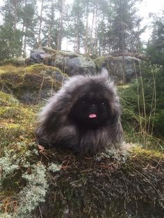 Who's ready for a hike? Pekingese in the great outdoors!
