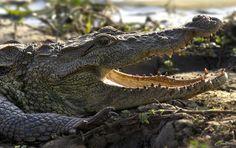Crocodylus palustris Mugger Crocodile photo - Christopher Tranter ...